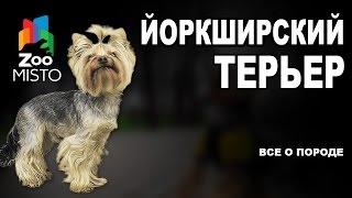 Йоркширский терьер - Все о породе собаки | Собака породы Йоркширский терьер