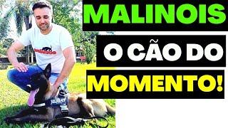 MALINOIS - O CÃO DO MOMENTO! |Pastor Belga Malinois