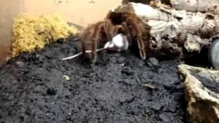 Theraphosa Blondi Eats Mouse(, 2013-03-13T04:35:59.000Z)