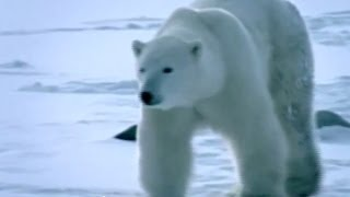 Polar Bear Attack (Part 1) - Bizarre ER