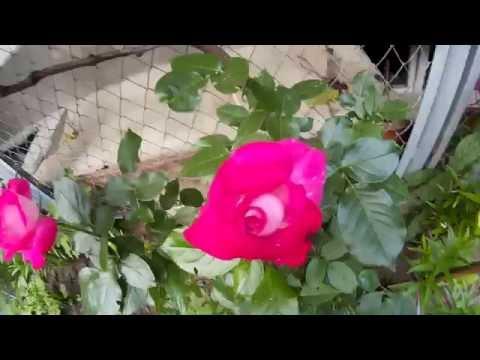 Цветущие малиновые розы
