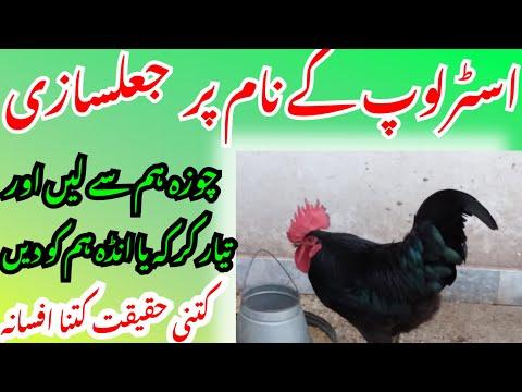 Be careful when Buy Australorp |Poultry Ideas |