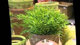 Бамбук комнатный уход.Бамбук комнатное растение уход(бамбук комнатный уход в домашних условиях., 2016-03-25T00:14:58.000Z)
