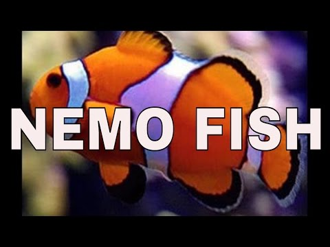 keeping clown fish - a great beginner saltwater fish : rotter tube reef
