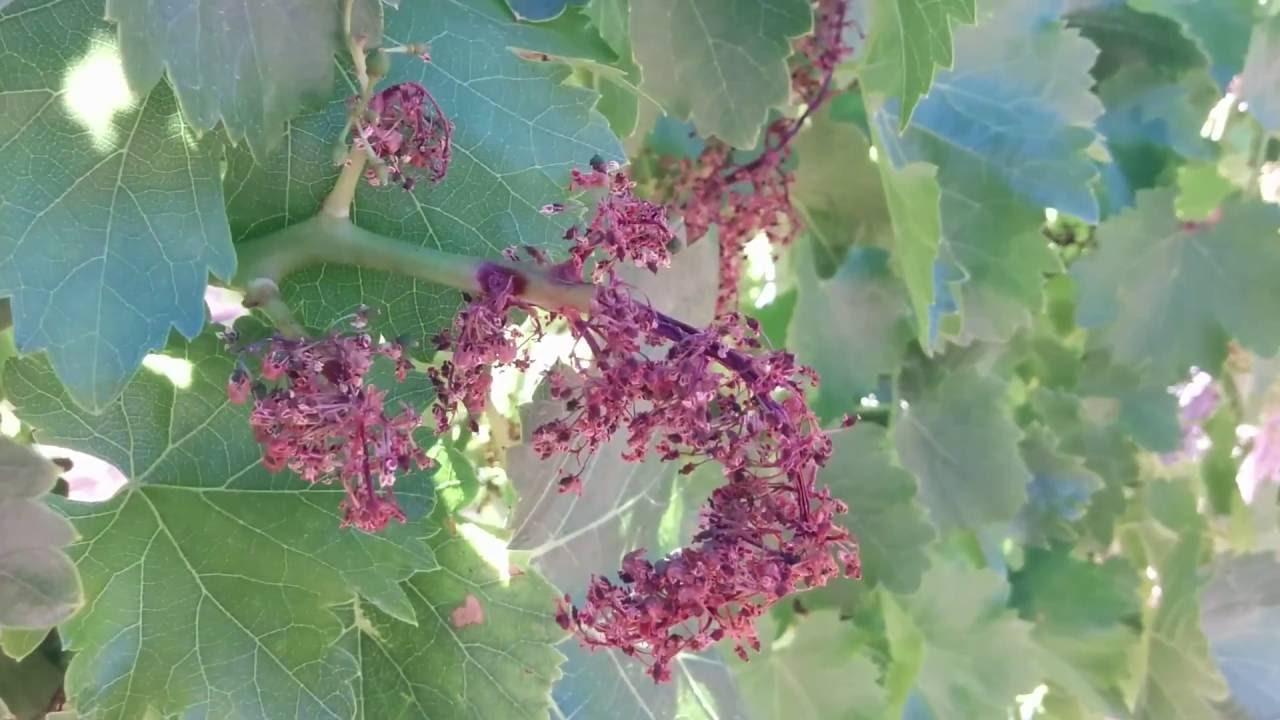 Resultado de imagen para floracion de la vid