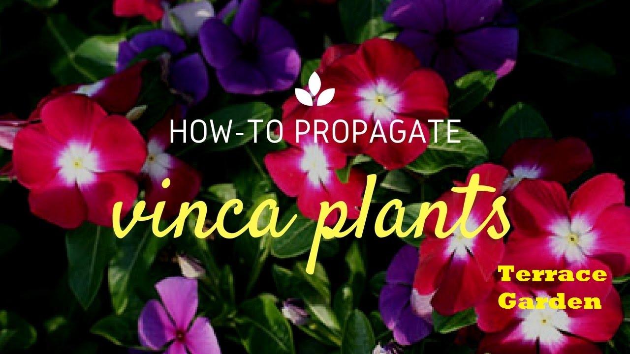 How to Grow Sadabahar/Vinca or Periwinkle Plants (Hindi/Urdu).How to ...