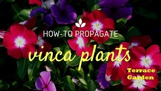 How to Grow Sadabahar/Vinca or Periwinkle Plants (Hindi/Urdu).How to Care Sadabahar