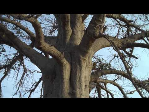 Stop under baobab after Teriya Bugu.MP4