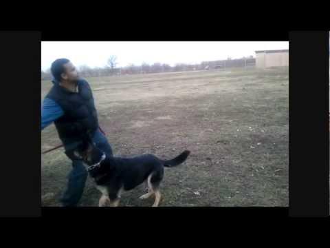German Shepherd Dog Loves to Fetch Sticks