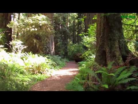 Virtual Hike: Giant Redwood Grove Forest - Ambient Music Medium Pace 35min (#7C)