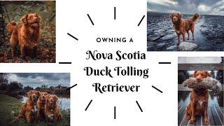 OWNING A DOG  TOLLER / Nova Scotia Duck Tolling Retriever