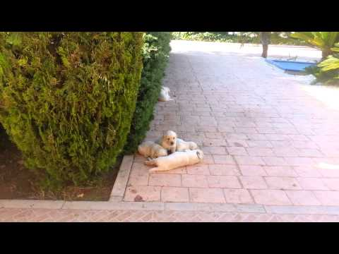 25 days old Labrador/Golden retriever puppies playing in the garden early in the morning