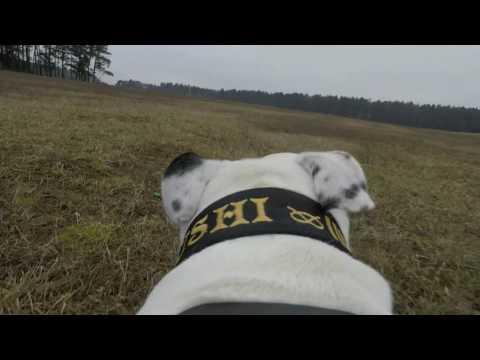Bushi Staffordshire Bull Terrier Cam: GoPro