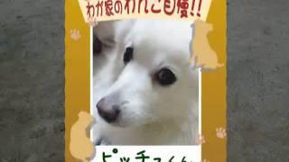 【わが家のわんこ自慢】 ピッチュくん 日本スピッツ・オス・4歳 「かわ...