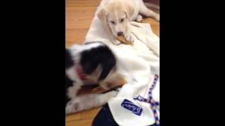 Siberian Husky Lab Retriever Pups Eating Cheese Sticks!