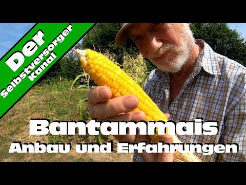 Bantammais anbauen und meine Erfahrungen damit