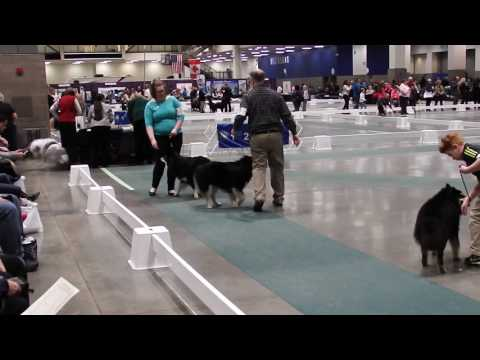 Taavi, Karhu, Lord at Seattle Kennel Club Dog Show - March 12 2017