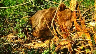 This Bear Was Going To Die After Being Caught In a Trap. Then It Saw What Was Approaching…