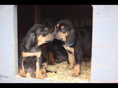Talking hound pups? Beagle x Black and tan cross hound mix puppies