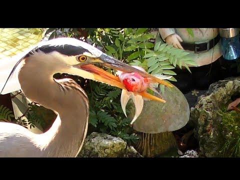 Heron Eats Goldfish FYV