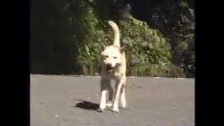 RCヘリ練習の後、寒風山方面に撮影に行ったときに出逢った山犬のスナッ...