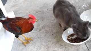 Петух ворует у кота корм   прикол!