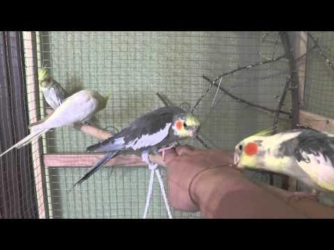 Как определить возраст попугая кореллы 1.