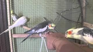 Как определить возраст попугая кореллы 1.(Как определить возраст попугая кореллы. Сколько лет попугаю, старый или молодой. Взрослый или птенец. Чем..., 2015-02-13T07:32:43.000Z)