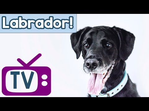 Labrador Dog TV! Music and TV to Calm and Entertain Labradors! Boredom Therapy for Labrador Dogs!