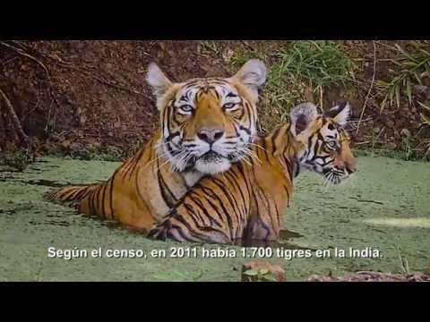Los tigres de bengala, en peligro de extinción