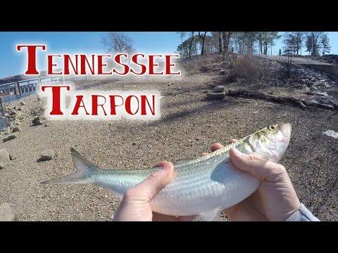 Freshwater TARPON!?
