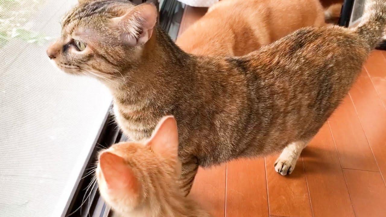 スマートになったはずが…。柴犬2度目のゴッソリ‼子猫と猫やんちゃコンビは秋の風に癒されてます。