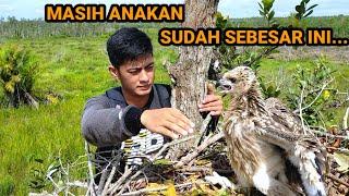 Selamat Dari Pemburu Perkembangan Anak Burung Elang Ghfe