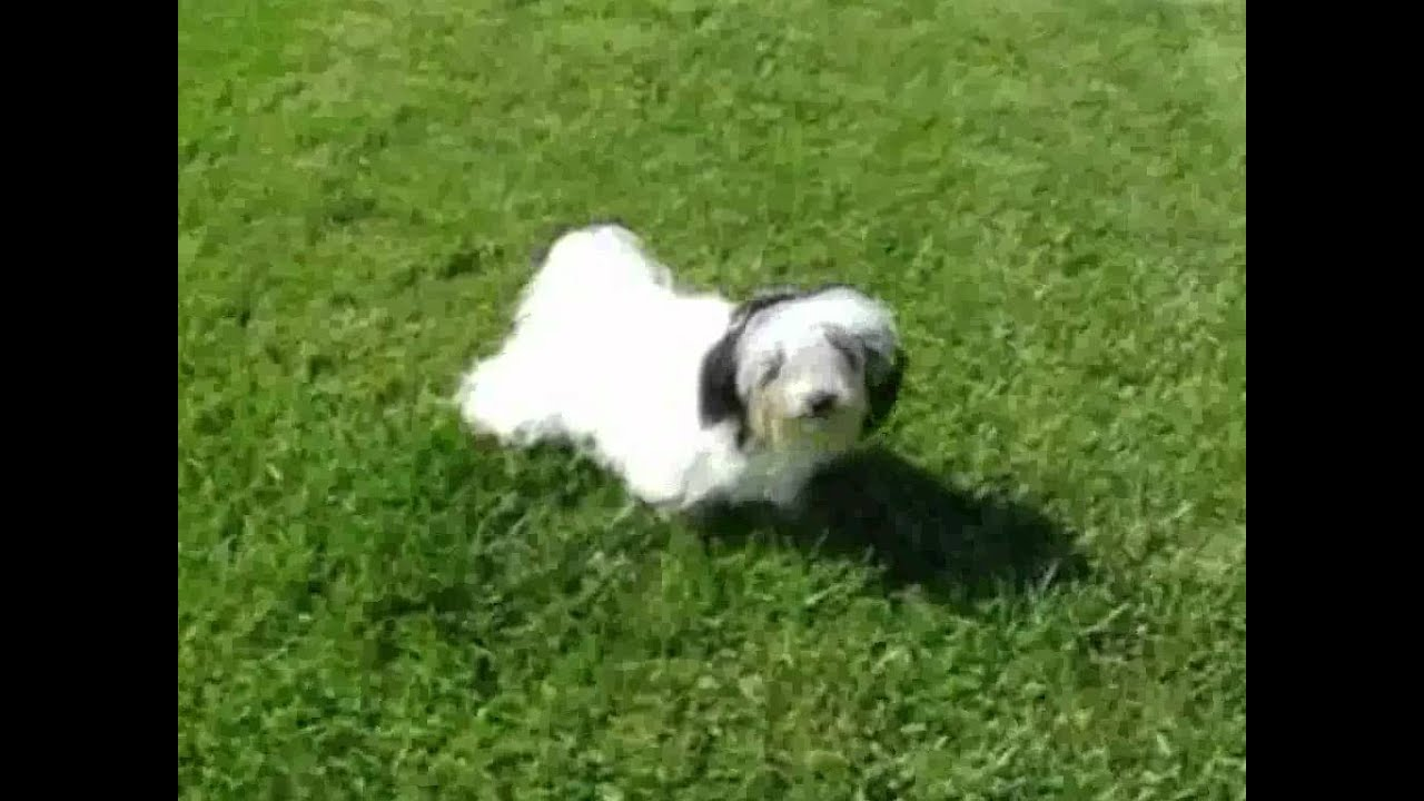 MorningStar Valley Farm Havanese puppies for sale TN Tennessee Nashville  Puppy Song Nicole