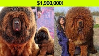 11 EXPENSIVE Dogs that Cost more than a HOUSE!!
