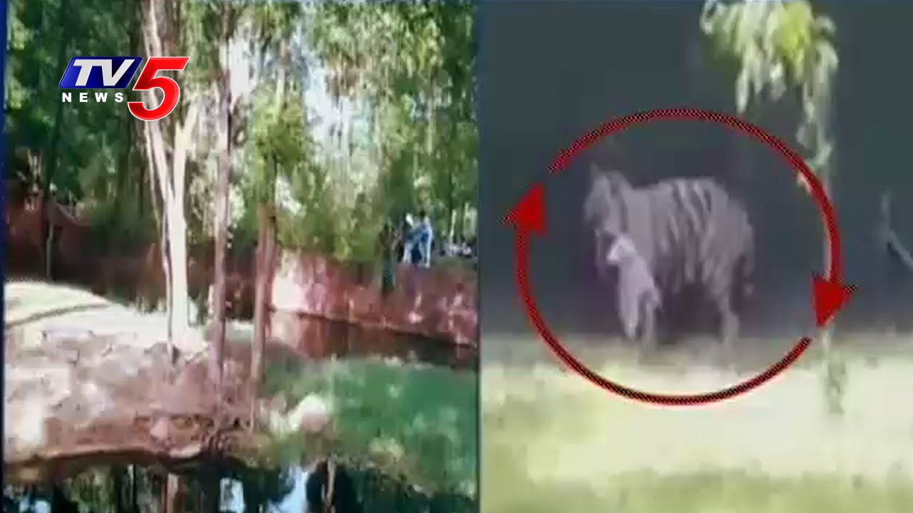 Drunk Man Jumps Into Lion Cage In Hyderabad Zoo Staff Negligence
