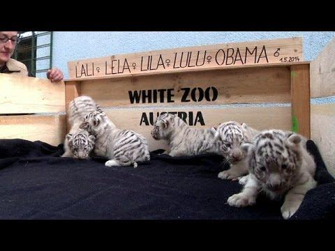Bir batında beş beyaz kaplan yavrusu -...