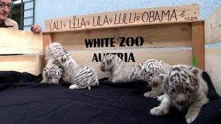 Bir batında beş beyaz kaplan yavrusu - BBC TÜRKÇE