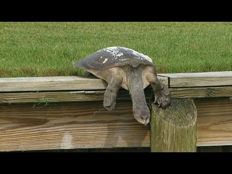 Golf Is So Boring That These Announcers Would Rather Watch A Turtle