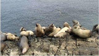 Sea Lion Cam | The Dodo Tranquil Tuesdays LIVE