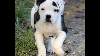 Pitbull, Puppies, For, Sale, In, Jackson, Mississippi, Ms, Clinton, Pearl, Horn Lake
