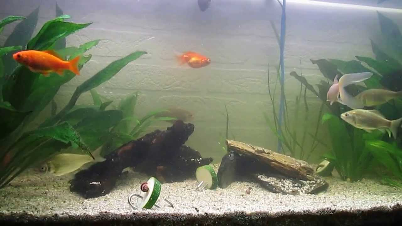 kaltwasseraquarium goldfische karauschen apfelschnecken und antennenwelse youtube. Black Bedroom Furniture Sets. Home Design Ideas