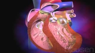 La el al cuerpo? bombea corazón sangre ¿Cómo