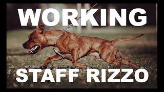 Featured Spotlight Giafras Thunder aka Rizzo Staffordshire Bull Terrier Working SBT Dog MODLINE USA