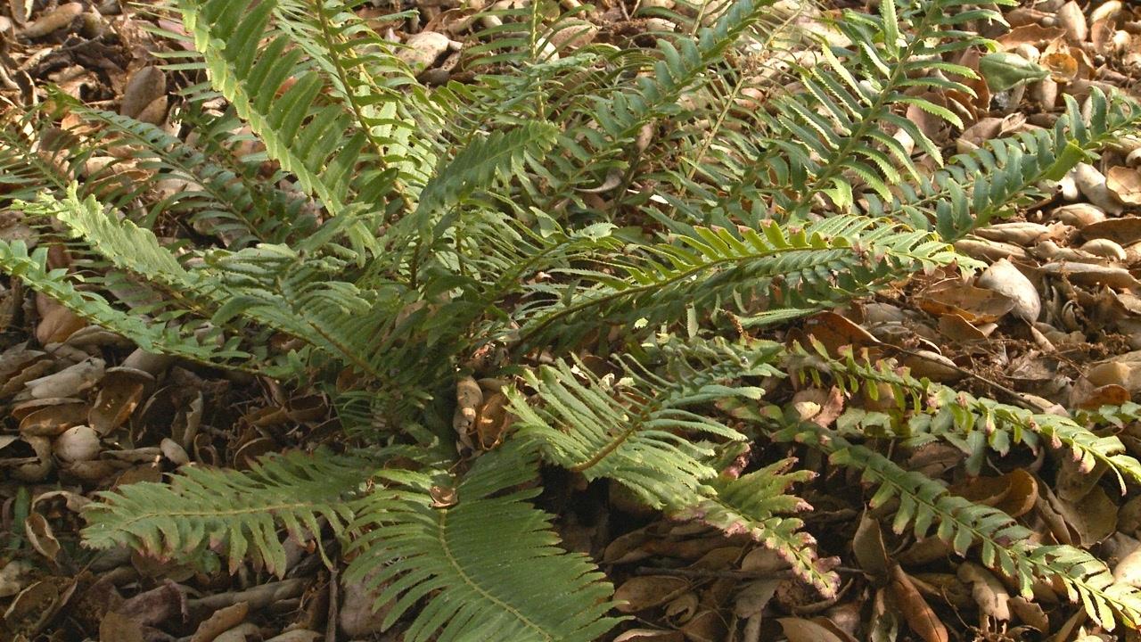 Western Sword Fern - California Native Dry Shade Garden - Ep.13 ...