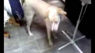 Wag On Inn Rescue Luke The Golden Retriever Mix Pup  Courtesy  Video Two Of Two April 18 2010.3g2