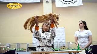 Международная выставка кошек, Харьков, 4 марта 2017, Мей Куны, ринг, монопородный 1