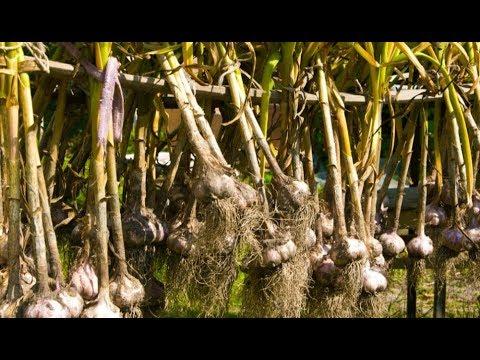 Как правильно и после каких культур лучше всего садить чеснок на зиму | удобрения | правила | урожай | польза | почва