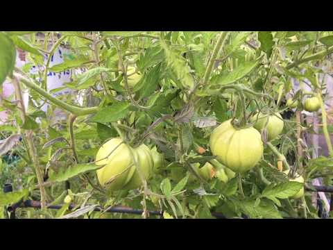 Shokher Bagan How To Ripen Tomatoes On The Plant Quicker