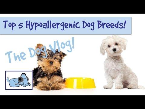 top-5-hypoallergenic-dog-breeds!